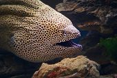 Honeycomb moray eel close-up (Gymnothorax favagineus )