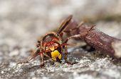 Mandibles Of Giant Hornet