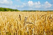 Gold Wheat Field, Forest And Blue Sky.selective Focus