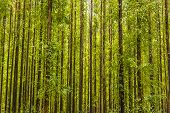 foto of eucalyptus trees  - photo of an eucalyptus forest - JPG
