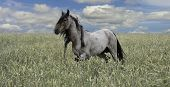 Lone Stallion - a wild horse walks through a field.