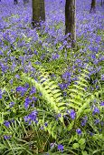 picture of harebell  - Beautiful carpet of bluebell flowers in Spring forest landscape - JPG