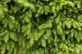 The background of bright green spruce , close up