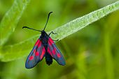 The Narrow-bordered Five-spot Burnet (Zygaena lonicerae)