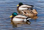 Wild Ducks Are Floating In The Sea Water