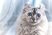 image of pointed ears  - American Curl cat on light blue background - JPG