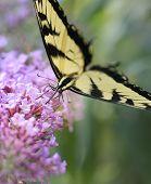 Eastern Tiger Swallowtail Butterfly On A Purple Butterfly Bush
