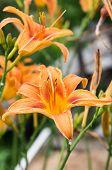 Two orange lilies