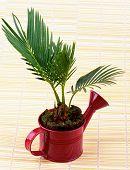 Little Palm Chrysalidocarpus Areca