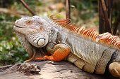 Iguana Standing