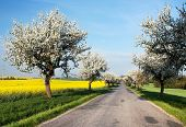 Spring View Of Road With Alley Of Apple Ree And Rapeseed Field