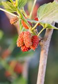 Mulberry On Tree Is Berry Fruit In Nature