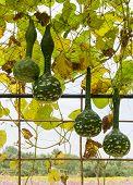 Squash Growing On Vine