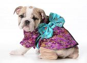 dog geisha - english bulldog puppy wearing a geisha costume isolated on white background - 9 weeks o