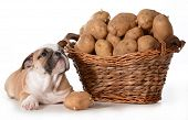 home cooking for your pet - english bulldog laying beside a basket of potatoes isolated on white background