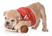 sports hound - english bulldog puppy laying on stuffed football isolated on white background - 9 wee