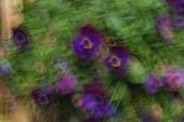 Abstract Impressionist Purple Pansy Flowers