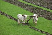 Plowing rice fields with an ox team in Myanmar