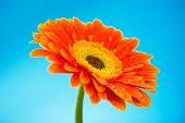 Orange Gerbera Daisy Flower Isolated On Blue Background