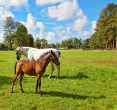 White horse with a foal on a green lawn for walking of Arabian horses.  Riding school and breeding of thoroughbred horses