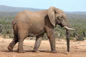 stock photo of veld  - Huge African elephant in a clearing the bush veld - JPG