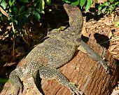 stock photo of giant lizard  - Giant Plated Lizard - JPG
