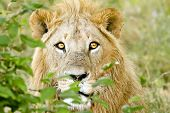stock photo of leo  - A lion  - JPG