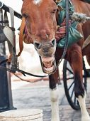 Funny Yawning Carriage  Horse In Santo Domingo, Dominican Republlic