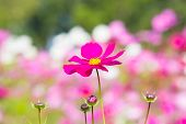 image of trumpet flower  - Pink flowers in a colorful garden beautiful - JPG