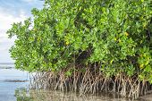Mangroves In Lagoon