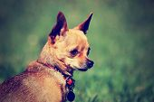 a tiny chihuahua gazing off while sitting outside in the grass done with a vintage retro instagram filter