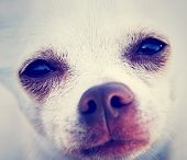 a tiny chihuahua with the focus on the eyes done with a vintage retro instagram filter