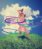 a chihuahua using a hula hoop done with a vintage retro instagram filter