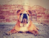 a bulldog in an alley with a brick wall done with a vintage retro instagram filter