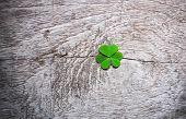 Fresh Green Clover Leaves Over Wooden Background, Lucky Shamrock