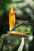 One Strelitzia Reginae Flower