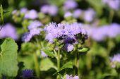 Purple Blossom Flower Ageratum