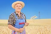 Mature farmer holding wheat straws in a field  with clear blue sky in the background