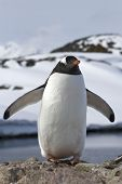 Gentoo Penguin Colony Which Stands In Its Wings Outspread