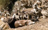 Old World Vultures On Carrion Of Horse