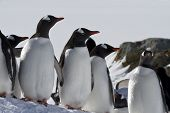 Gentoo Penguin Group Standing In The Snow In Stones