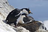 Pair Of Blue-eyed Antarctic Cormorant On The Nest On A Hillside In The Colony