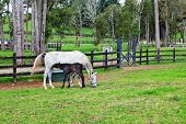 White horse and a bay foal grazing in a green fenced lawn. Pension for breeding purebred Arabian horses