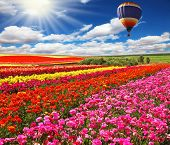 Big balloon flies over field of flowering. Picturesque field of colorful buttercups spring in the so