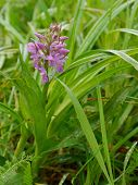broad - leaves marsh orchid