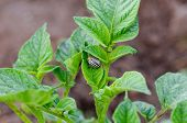 stock photo of potato bug  - colorado beetle bug move on potato vegetable plant leaves - JPG