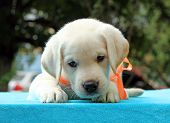 Nice Yellow Labrador Puppy Portrait On Blue
