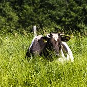 Cow On A Pasture, On A Green Grass