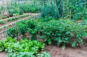 stock photo of horticulture  - horticulture garden with vegetables growing in summer  - JPG