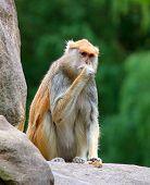 patas monkey Erythrocebus patas sitting on rock eating